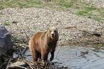 Забърдовската мечка с пореден опит за кървав курбан