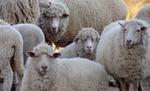 """42 умрели животни от """"син език"""" в момчилградско- родопската община в паника"""