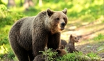 Наблюдение на мечки – адреналин в Родопите