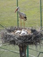 За първи път от много години двойка щъркели свиха гнездо в Доспат