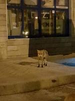 Лисица се разхожда обезпокоявана от никой в центъра на Смолян
