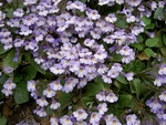Легенди за безсмъртното родопско цвете – силивряк