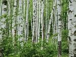 """Резерват """"Белите брези"""" опазва единствената по рода си естествена брезова гора на Балканския полуостров"""