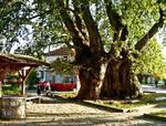 Вековните чинари край Гърмен – не просто дървета, а пазители на шествековна история