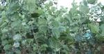 Родопчани сеят лешници като алтернатива на картофите и тютюна
