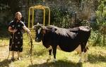 """16-годишна крава спечели приза """"Мис"""" в Кутела"""