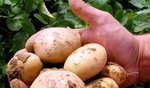 В Неделино масово изхвърлят картофи в контейнерите, заради липса на пазар