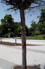 Предстои санитарна сеч на 12 дървета по централния булевард на Кърджали