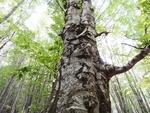 Дървото с костите