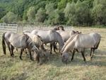 Заселват тарпани в Момчилградско