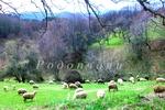 Родопски мохабети: Туристка среща овчар в планината…