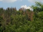 РДГ – Смолян: Наблюдава се поява на нови площи гори, засегнати от корояди, собствениците да предприемат действия