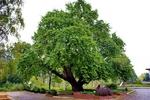 Вековното дърво – Смолян