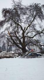 Снегът потроши емблематичния за Смолян чинар