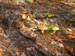 Срив на гъбарския бизнес заради сушата