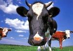 Крави пощуряха по джип на чуждоземен инвеститор