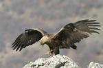 Два орела, с GPS/GPRS предаватели, се реят свободно в небето над Източни Родопи