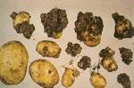 Нови 378 проби взеха инспектори от Агенцията по храните от ниви в Смолянско заради рака по картофите